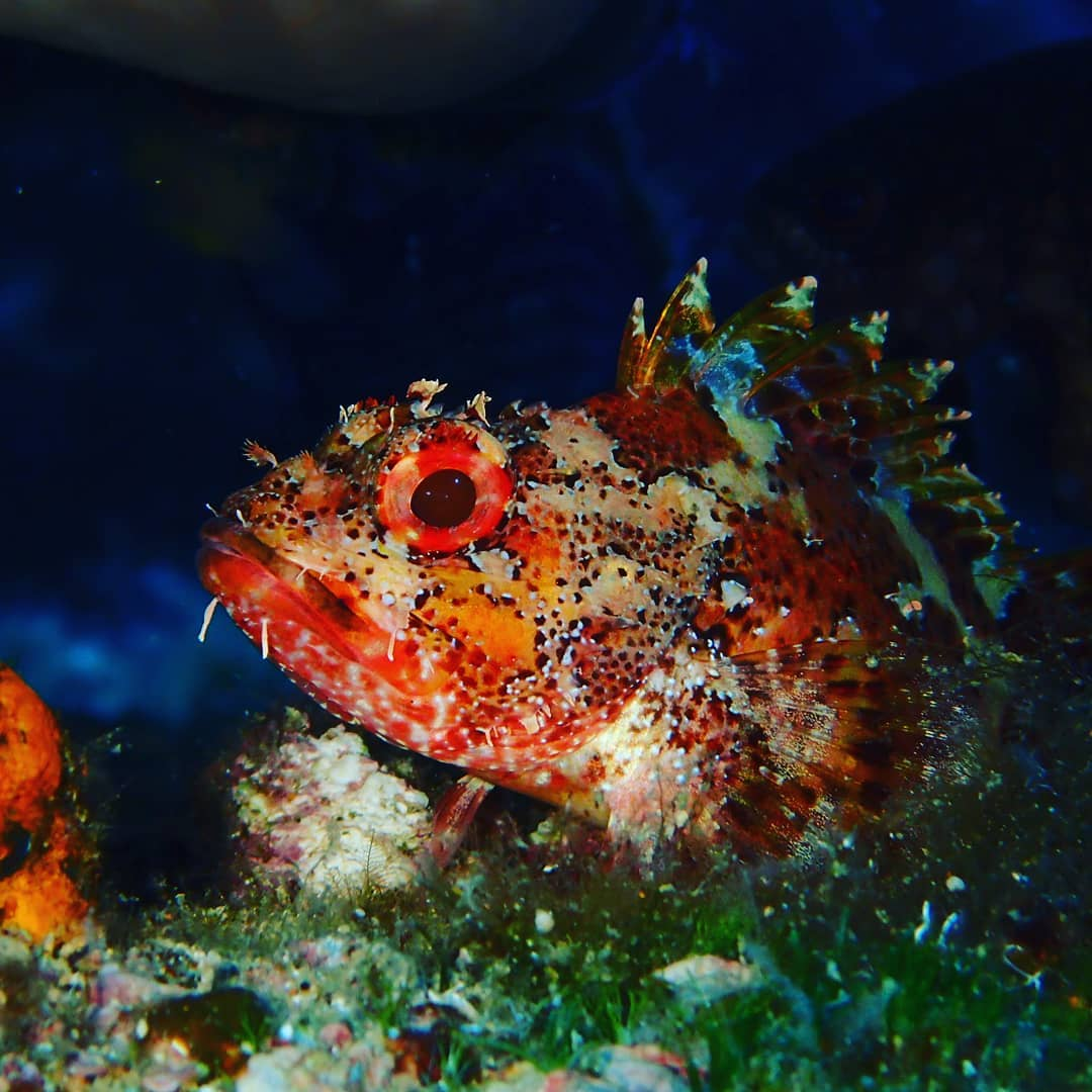 Looking at me…? #scorpionfish #scubadive #underwater #marathondiversclub #beautiful #fish #padi #padidiver #projectaware #fishidentification